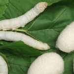 SILKWORM IMPLANTS TREAT CREAKY KNEES